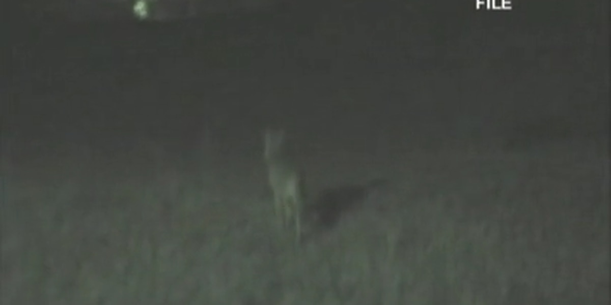 Coyotes spotted several blocks outside downtown Birmingham