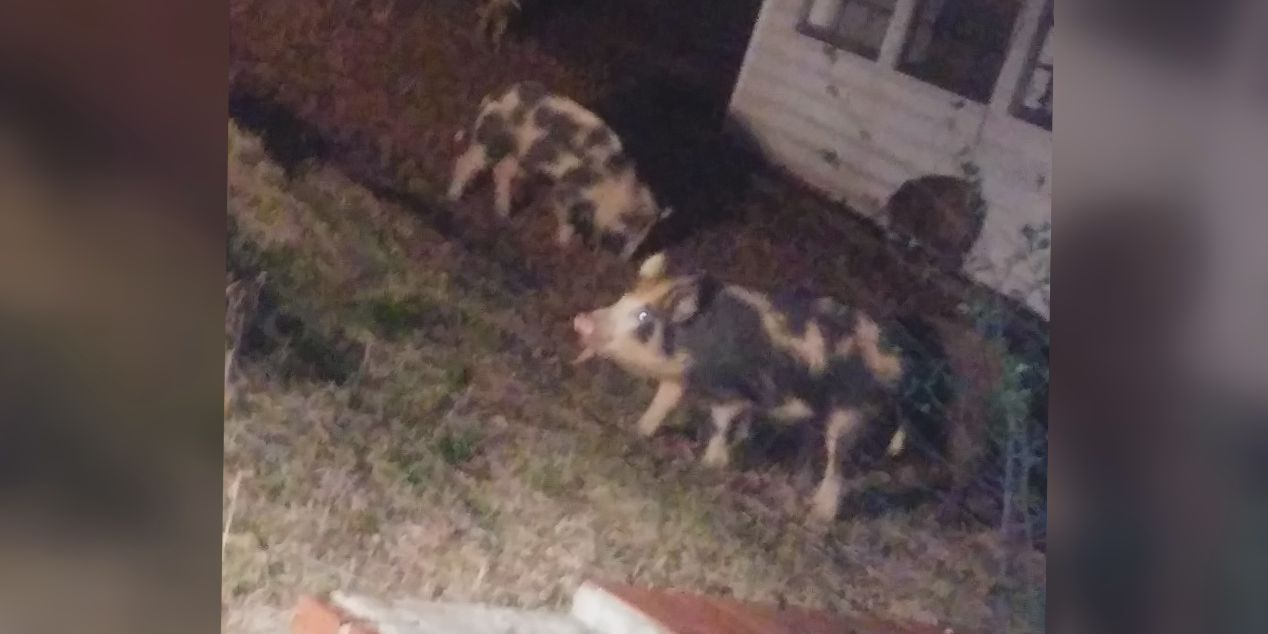 Wild hogs causing problems in Adamsville