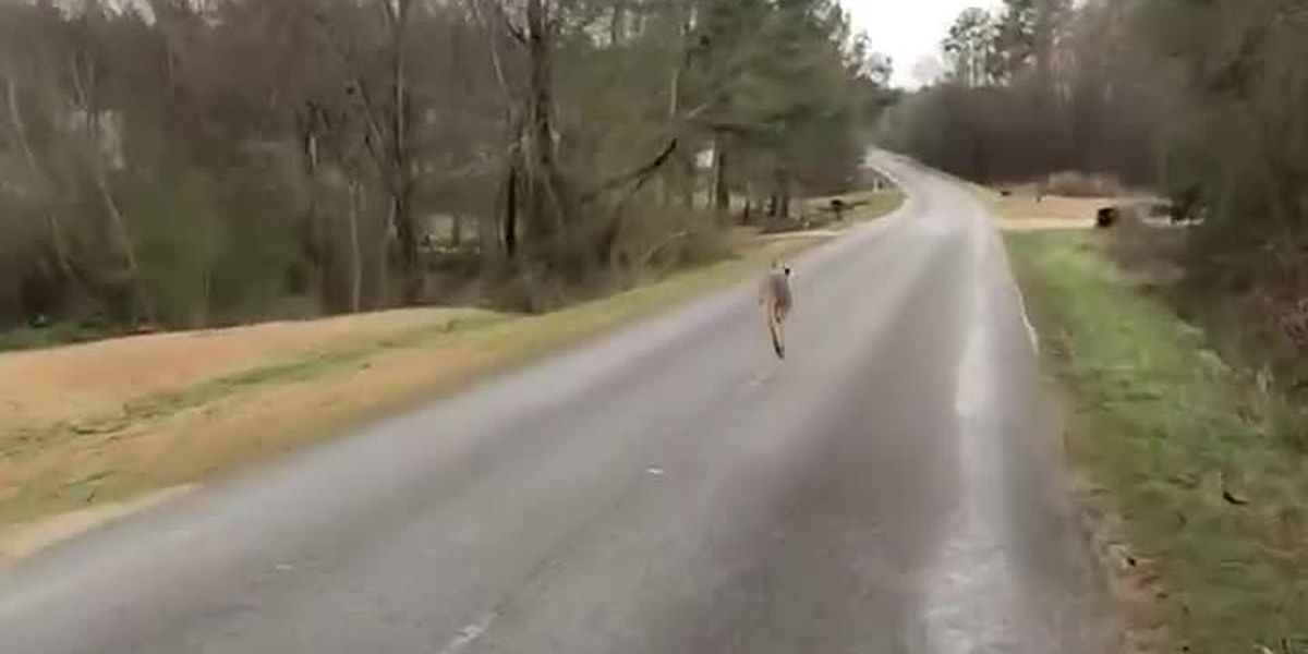 Kangaroo escapes farm in small Alabama town