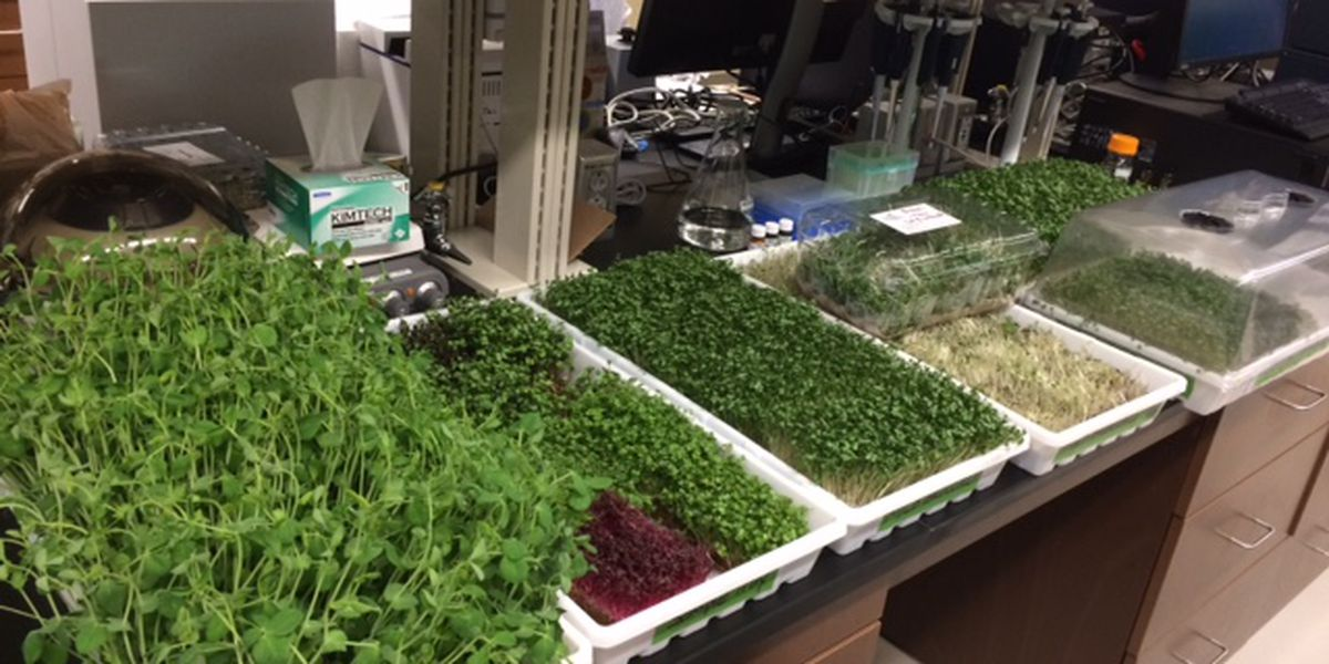 UA & UWA begin study on microgreens with USDA grant