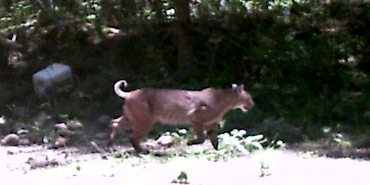 Large 'cat' spotted in Cullman County