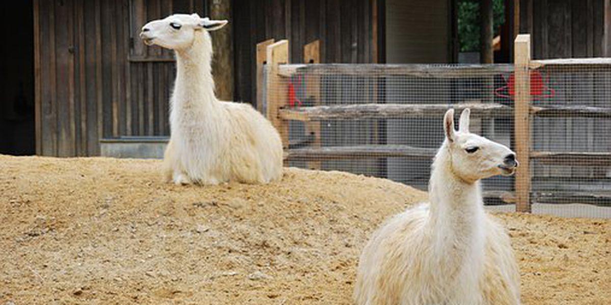 Llama, llama loves Valentine's Day!