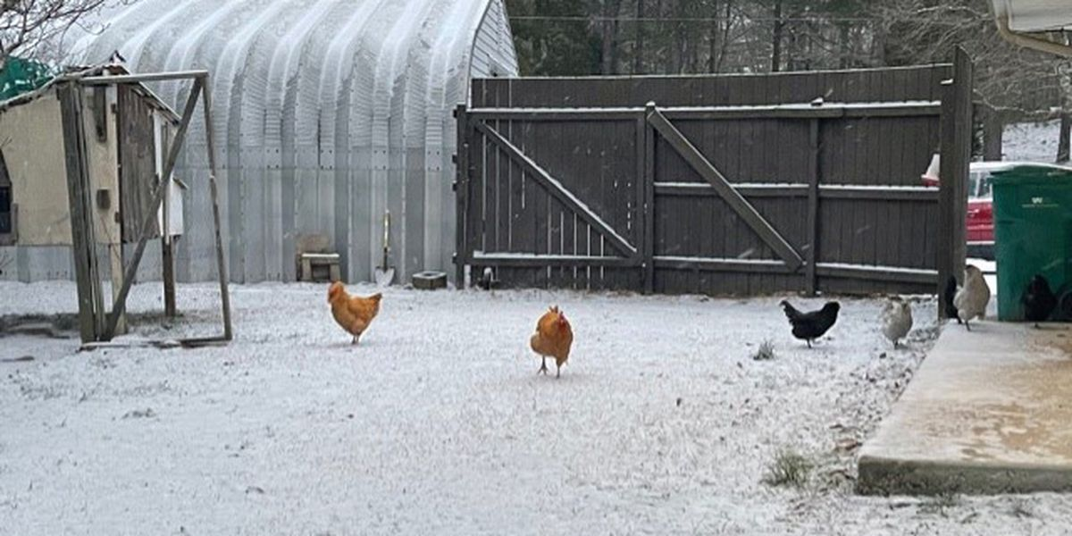 Dogs, squirrels and chickens checking out the snow in Alabama