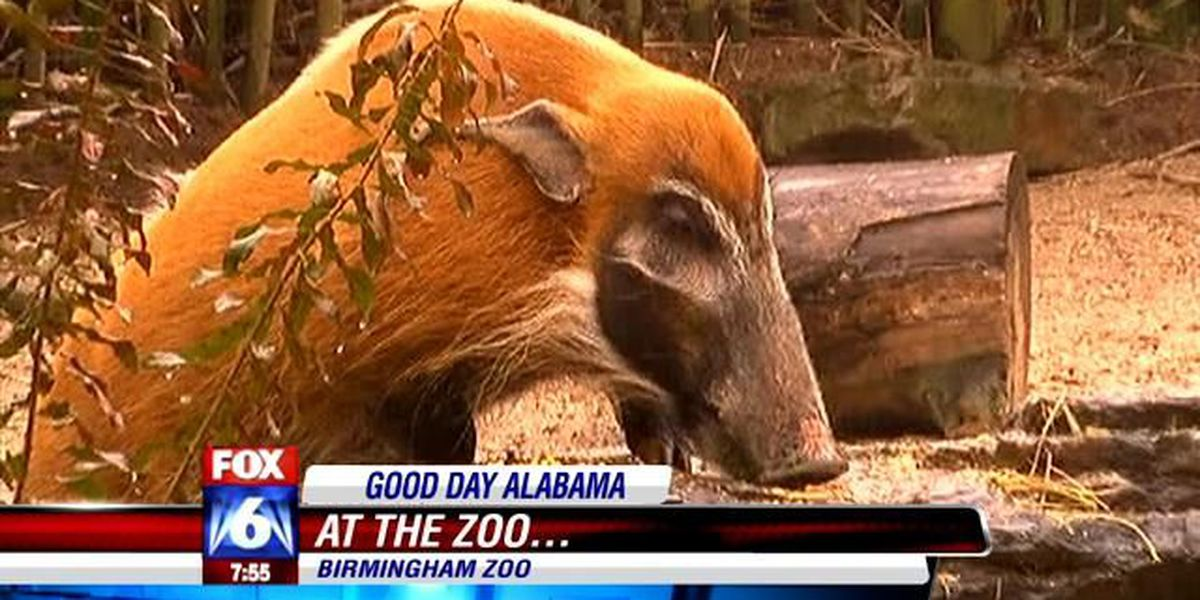 Meet The Birmingham Zoo's 3 red river hogs!