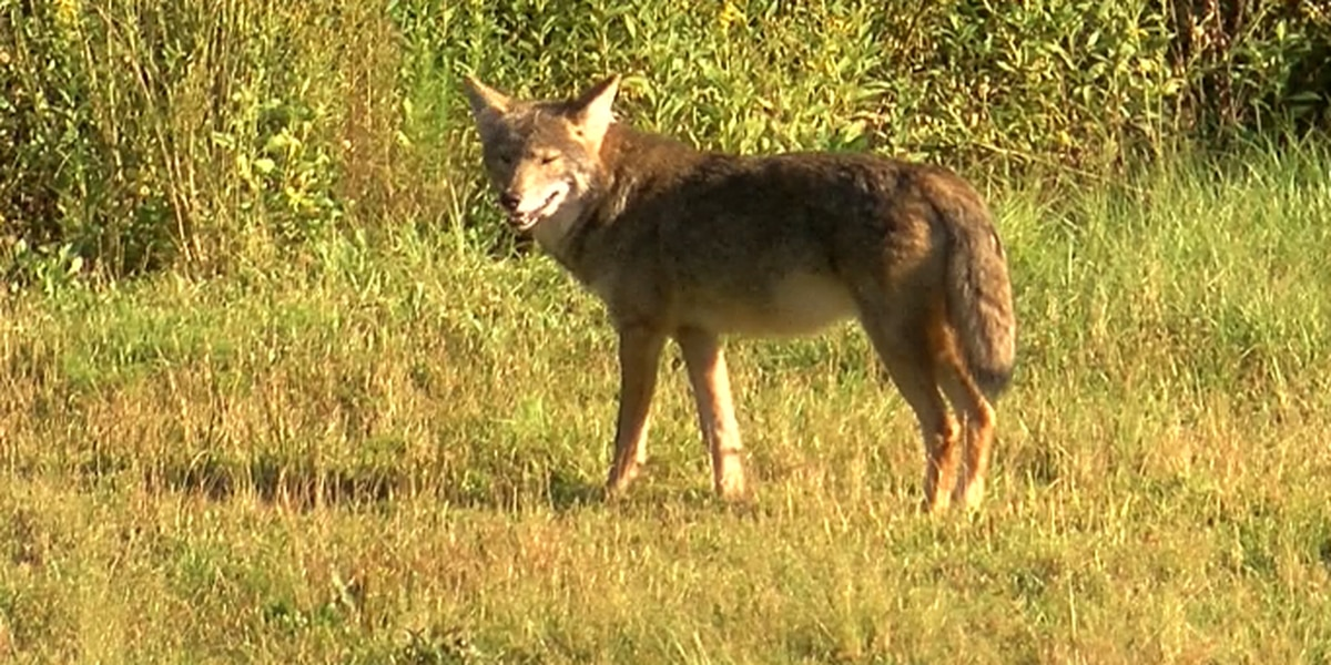 Residents concerned about growing number of coyotes in Gardendale