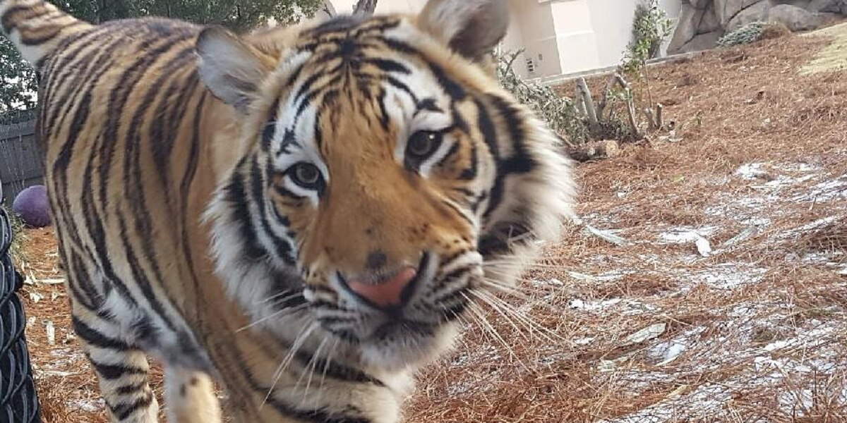 LSU's Mike the Tiger has a rival-inspired dinner