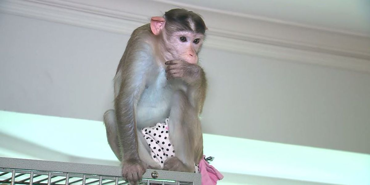 Woman with PTSD fights Mo. city law to keep 3 emotional support monkeys