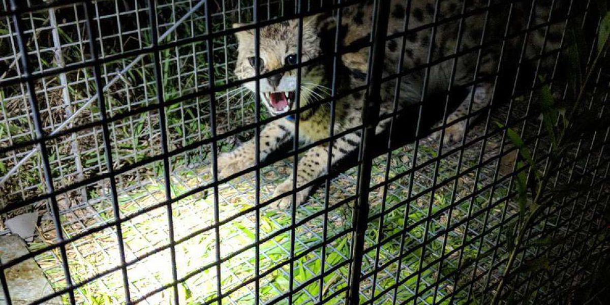 Missing African serval found in Pelham, returned to owner