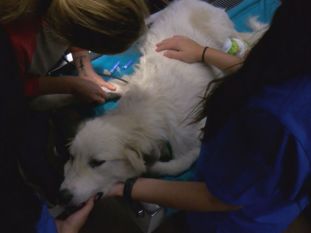 Dog found with makeshift leg splint prompts animal cruelty investigation in Limestone County