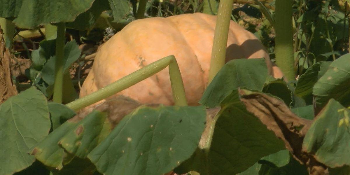 Growing pumpkins despite the drought