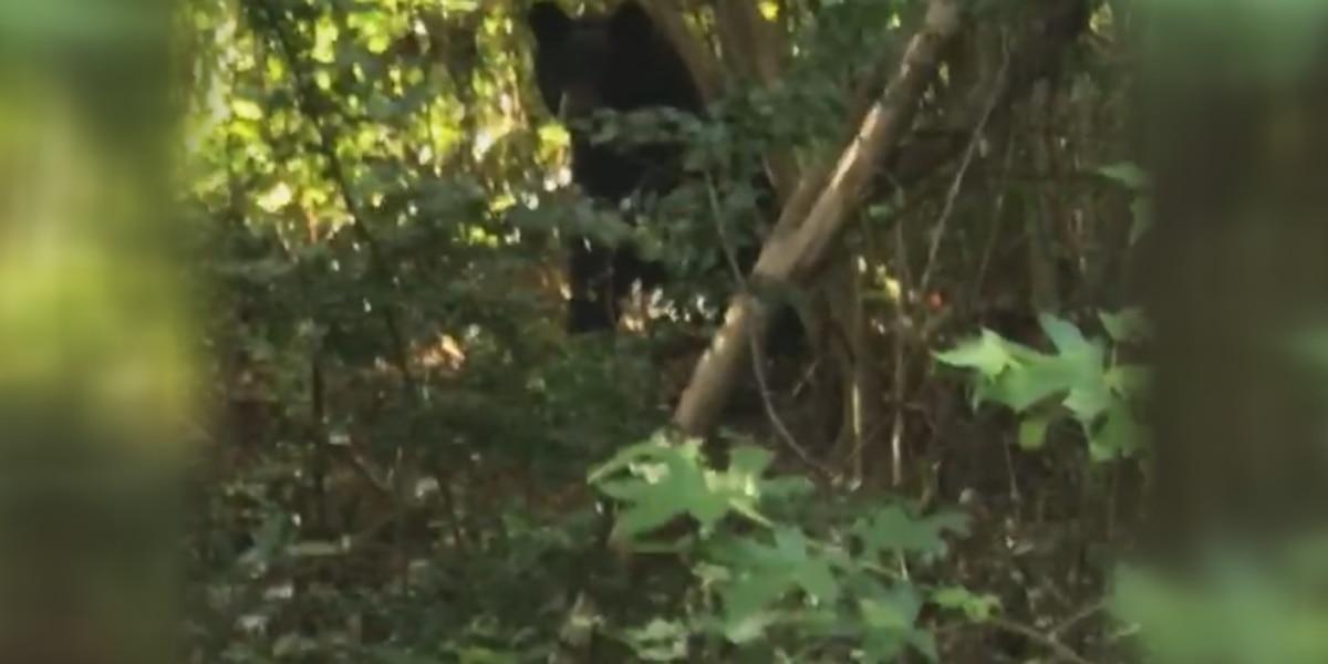 Hoover couple spots bear in backyard
