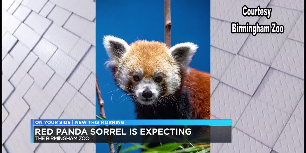 Red Panda at Birmingham Zoo pregnant