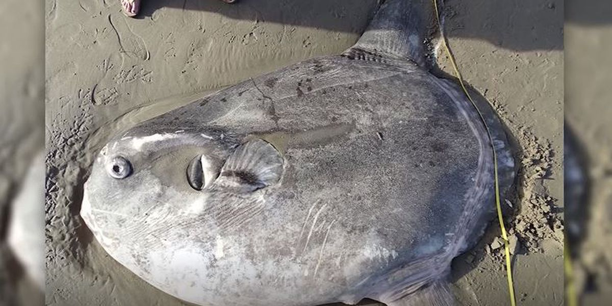A mysterious sea creature makes its debut on US shores
