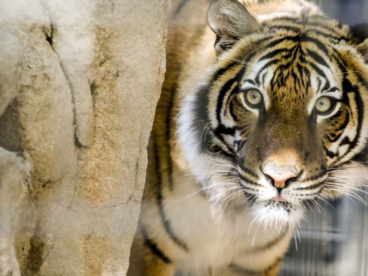 Tiger at Tennessee zoo tests positive for COVID-19