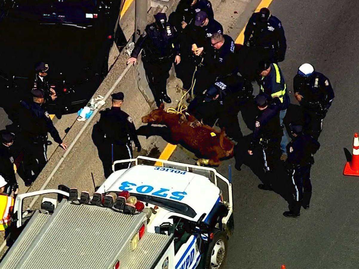 NYPD wrangles wandering calf on Bronx expressway
