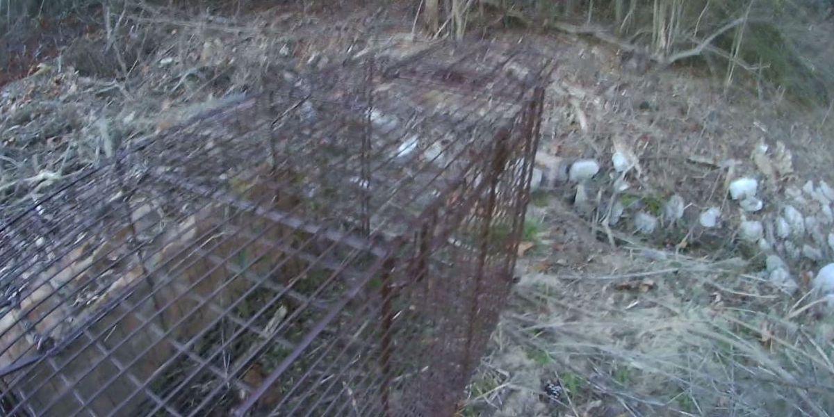 Multiple coyote sightings have Vestavia Hills residents on high alert
