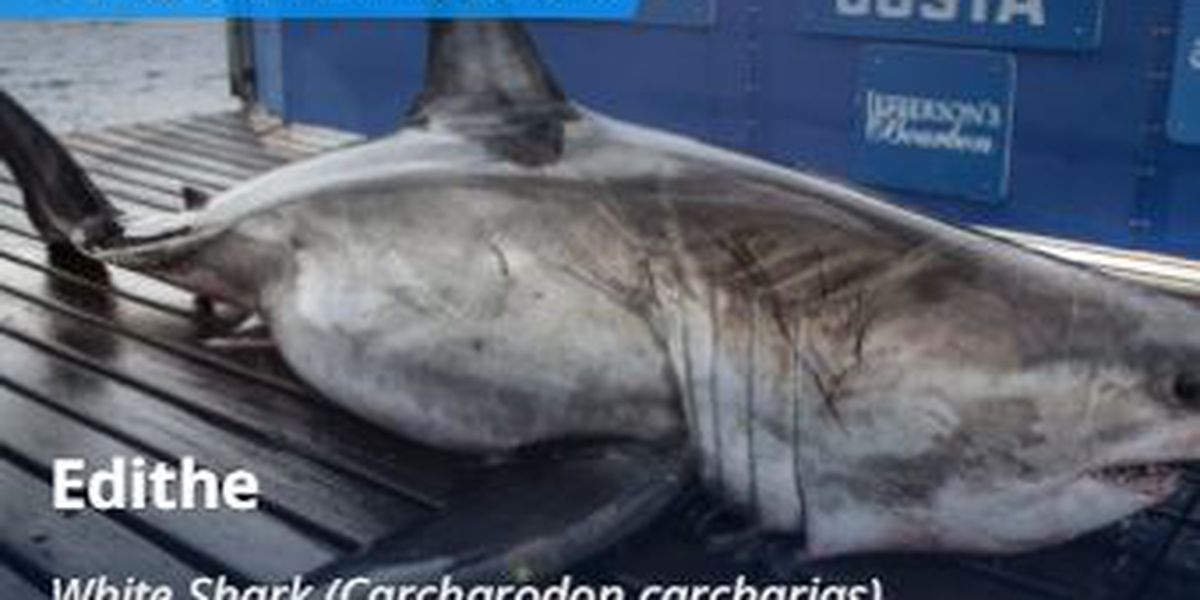 3 large sharks, including a nearly 1,200-pound great white, pinged off AL coast
