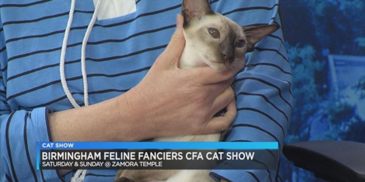 Birmingham Feline Fanciers 2018 CFA Cat show