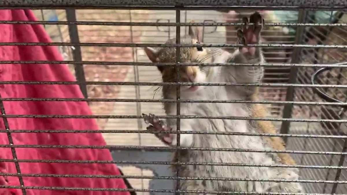 Drugged 'attack squirrel' seized in north Alabama drug raid