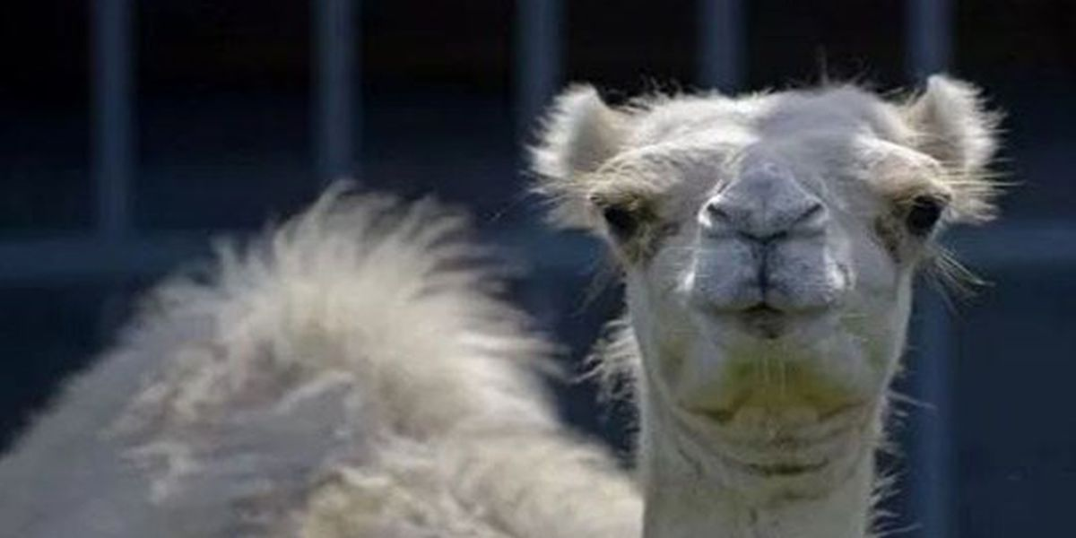Police report, surveillance video indicate couple involved in camel-biting incident may not have been entirely truthful