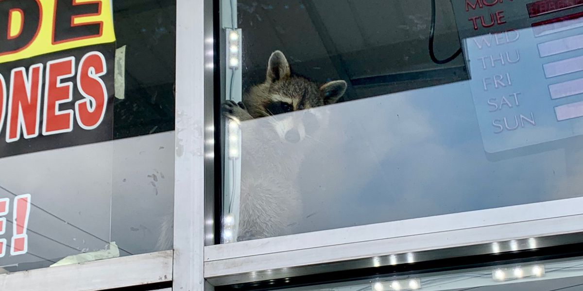 Actual raccoon (not Marvel character) busted by police at Cincinnati-area business