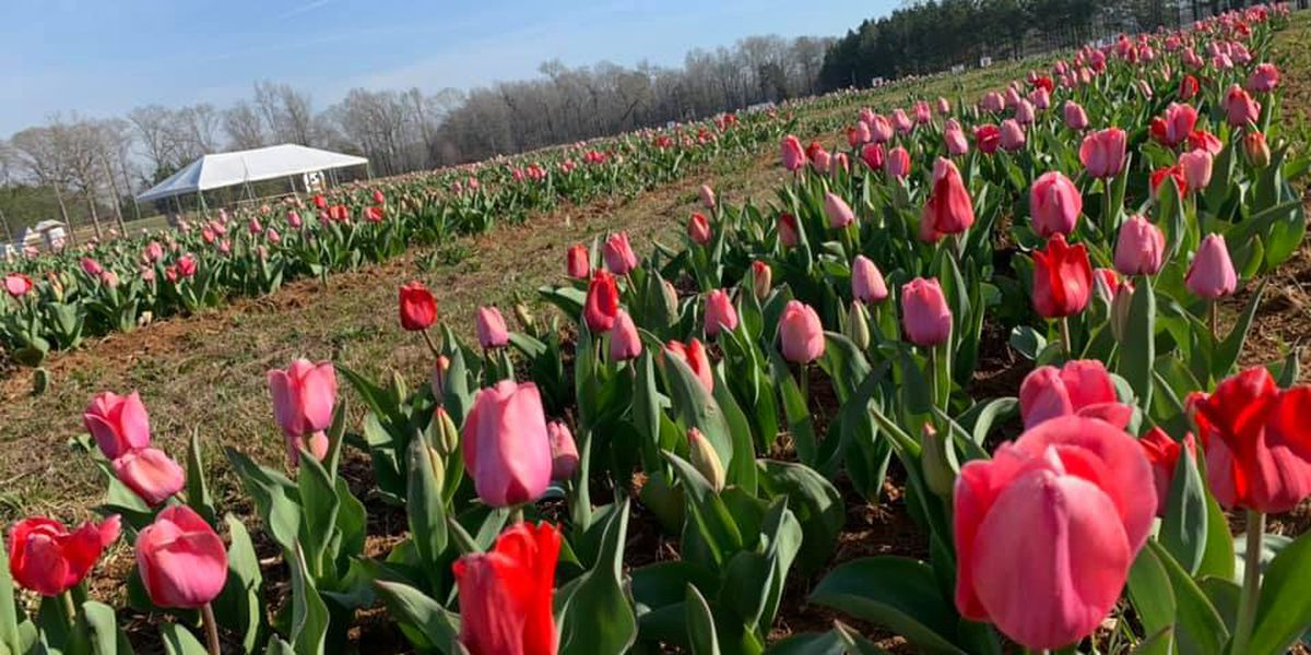 Festival of Tulips underway in Montevallo