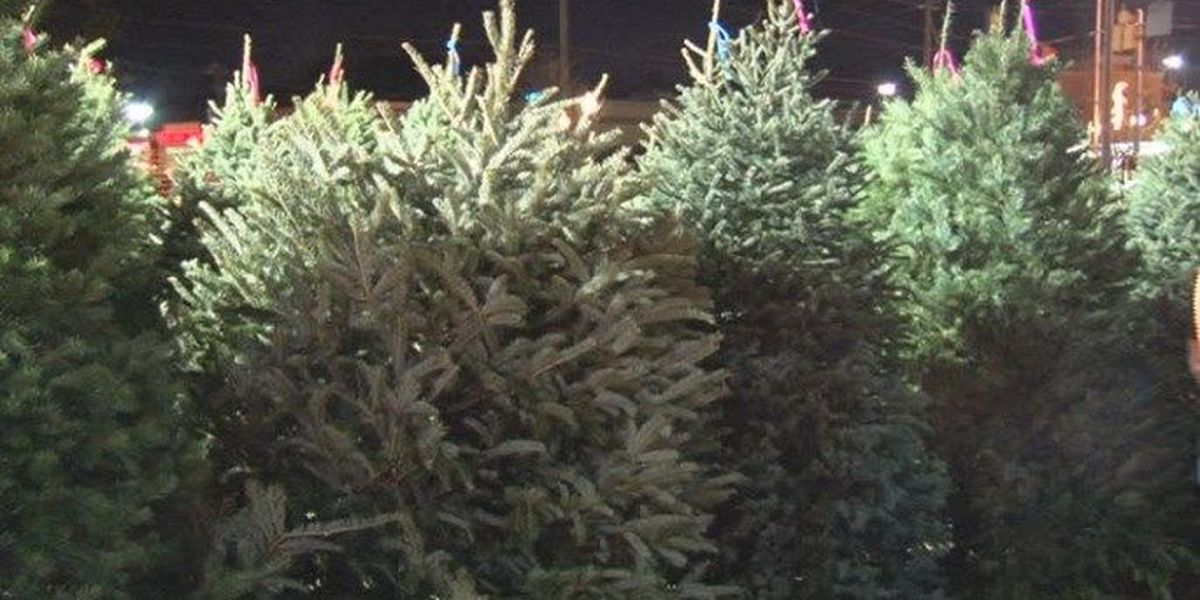 doctors say mold found in christmas tree varieties can trigger allergies