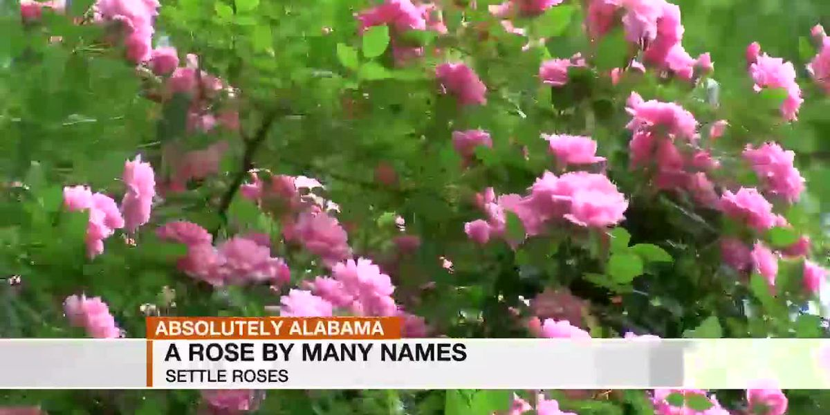 Absolutely Alabama A Rose By Many Names