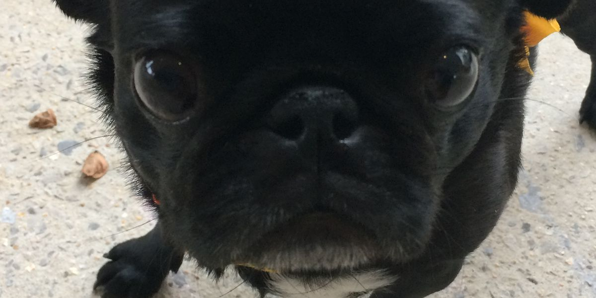Dog rescue group hosting Pugs and Pumpkins