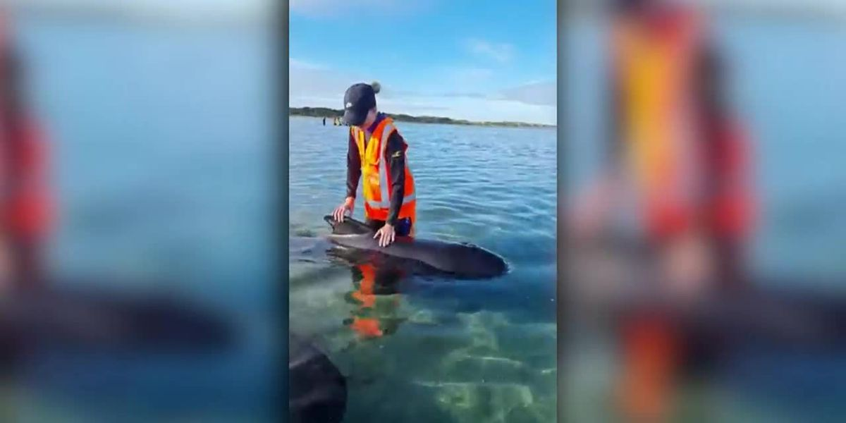 Volunteers rescue pilot whales stranded in New Zealand