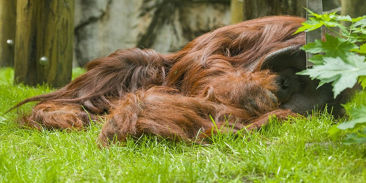 Zoo worker loses thumb in encounter with orangutan