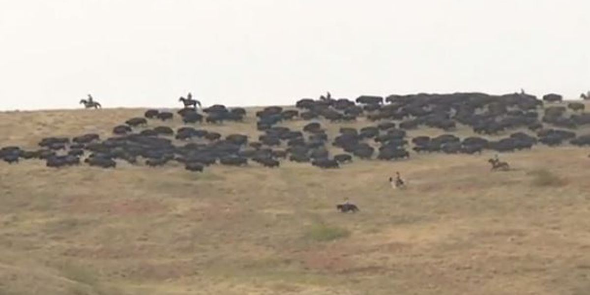 Local cowboys help with 55th annual buffalo roundup in Custer State Park