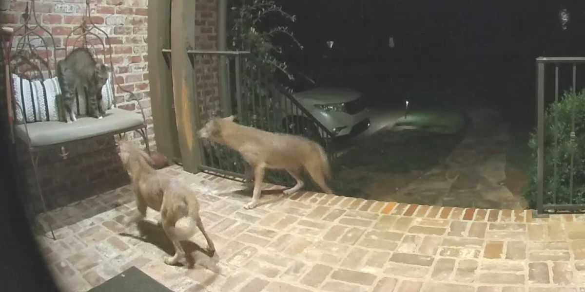 Mountain Brook residents dealing with coyotes