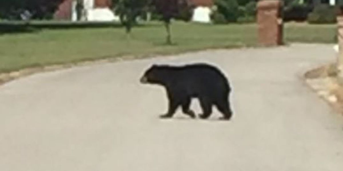 Bear spotted in Oxford