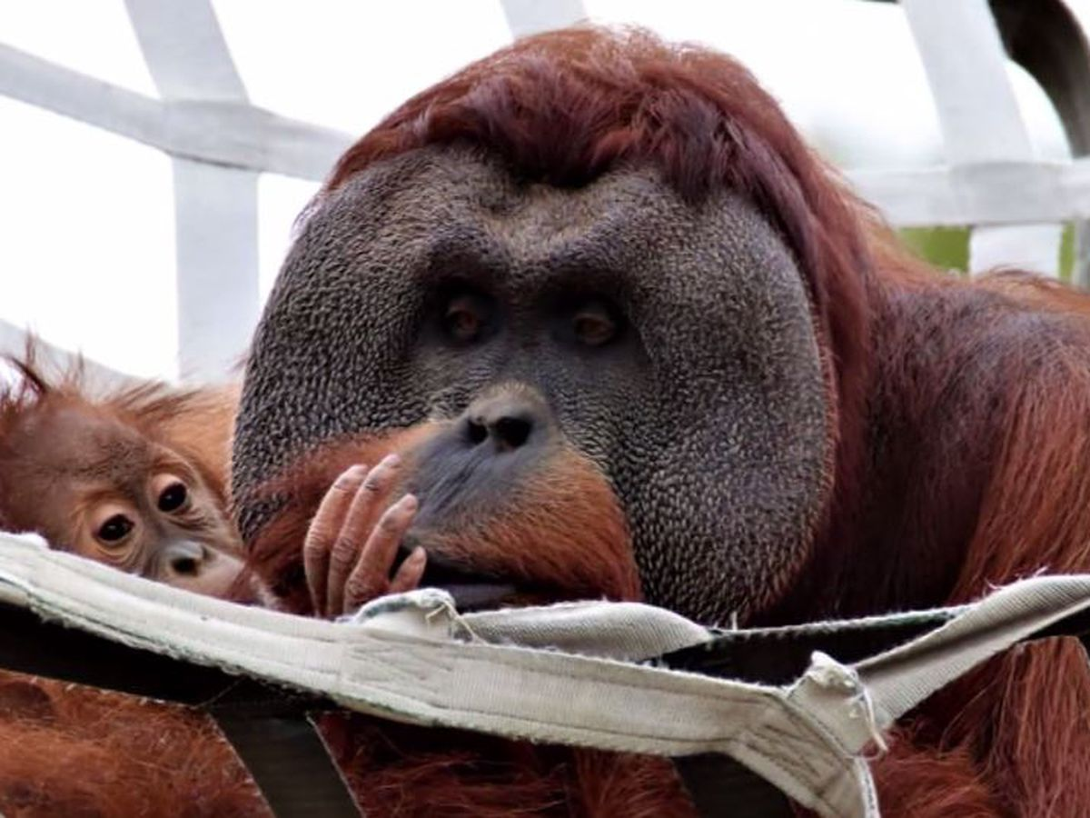 Male orangutan steps up to care for 2-year-old daughter after mother dies