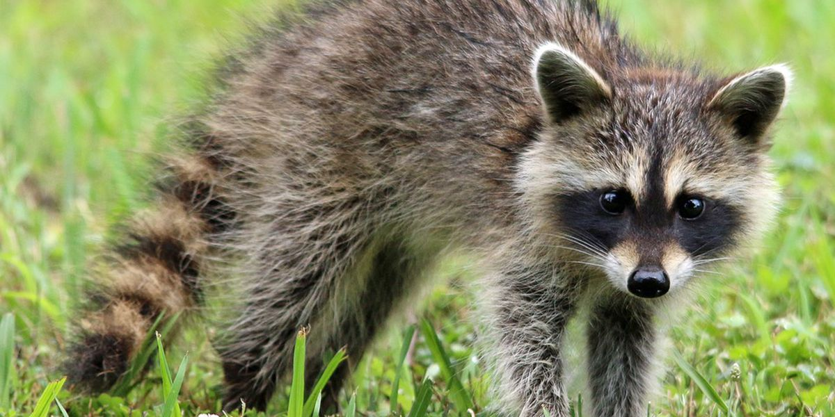How to keep raccoons from setting up in your home