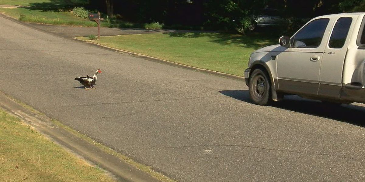 Ducks killed in one Alabaster neighborhood has some concerned about speeders