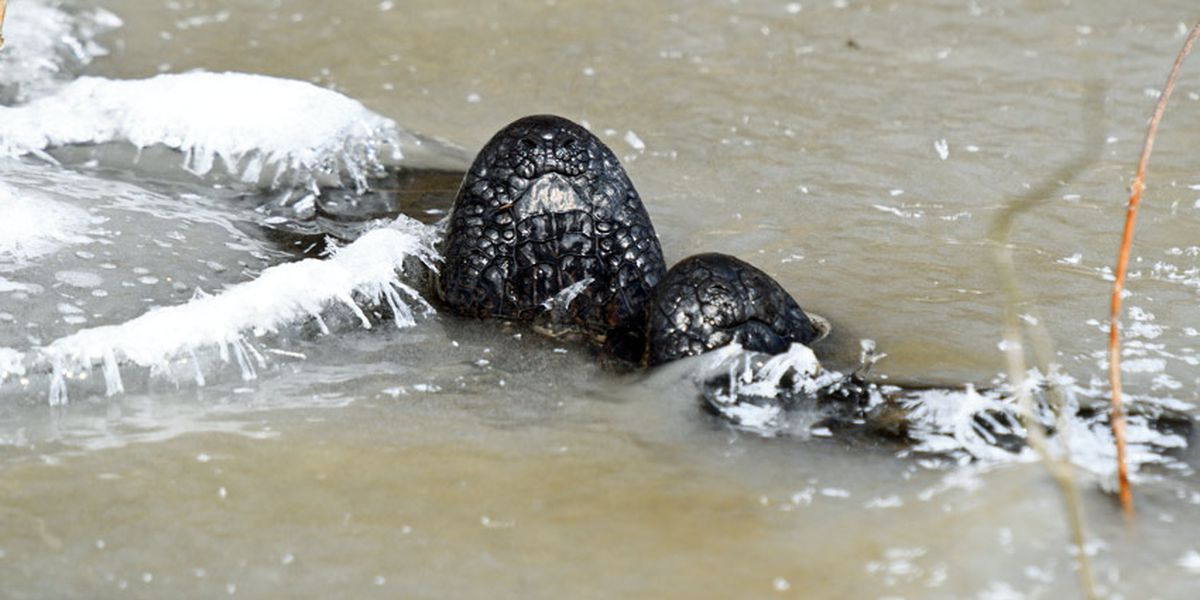 Oklahoma frozen alligators